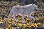 Polarwolf 04