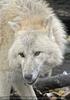 Polarwolf 2