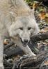 Polarwolf 3