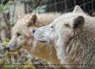 Polarwolf 4