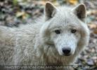 Polarwolf 5