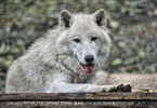 Polarwolf 9