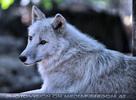 Polarwolf-Rudel 03