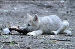 Polarwolfwelpe 1