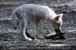 Polarwolfwelpe 4
