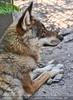 Wolf auf der Hut