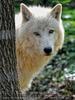 Wolfsblick 01