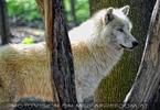 Wolfsblick 03