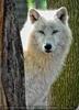 Wolfsblick 04