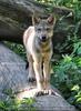 Wolfswelpe beobachtet