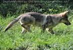 Wolfswelpe schleicht herum