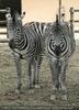 Zebrapaar