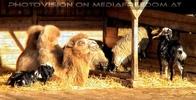 Kamele und Ziegen