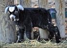 Ziegenbaby 2